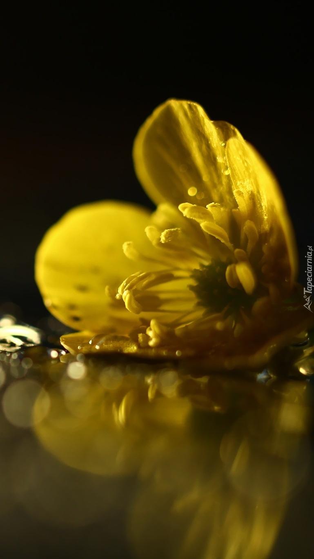 Leżący kwiat żółtego jaskra