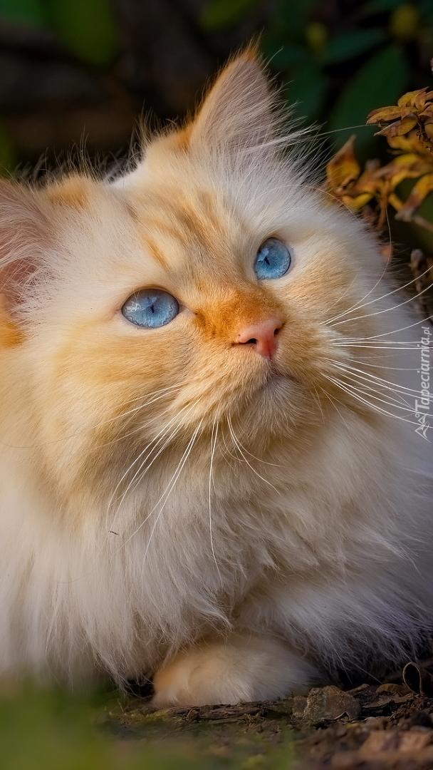 Leżący niebieskooki kot