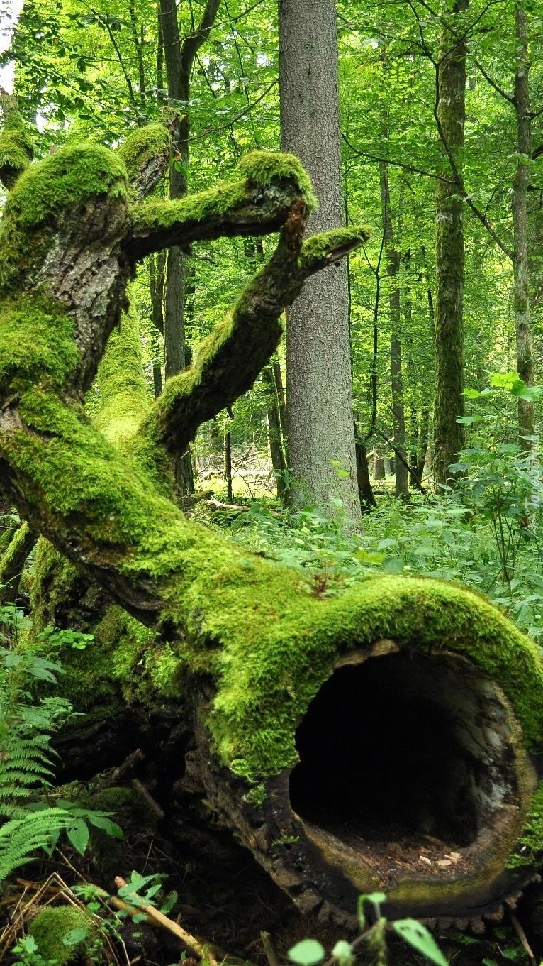 Leżący pień omszały w lesie