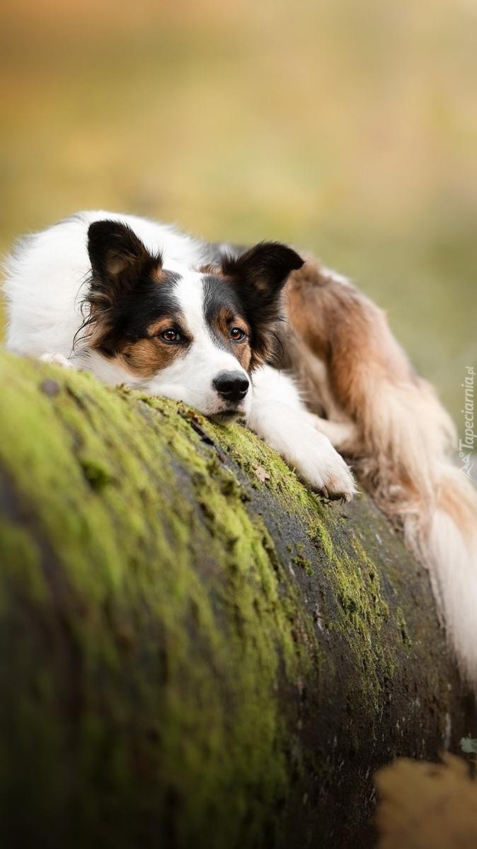 Leżący pies na drzewie