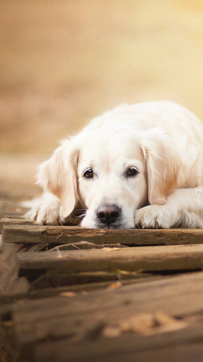 Leżący pies rasy golden retriever