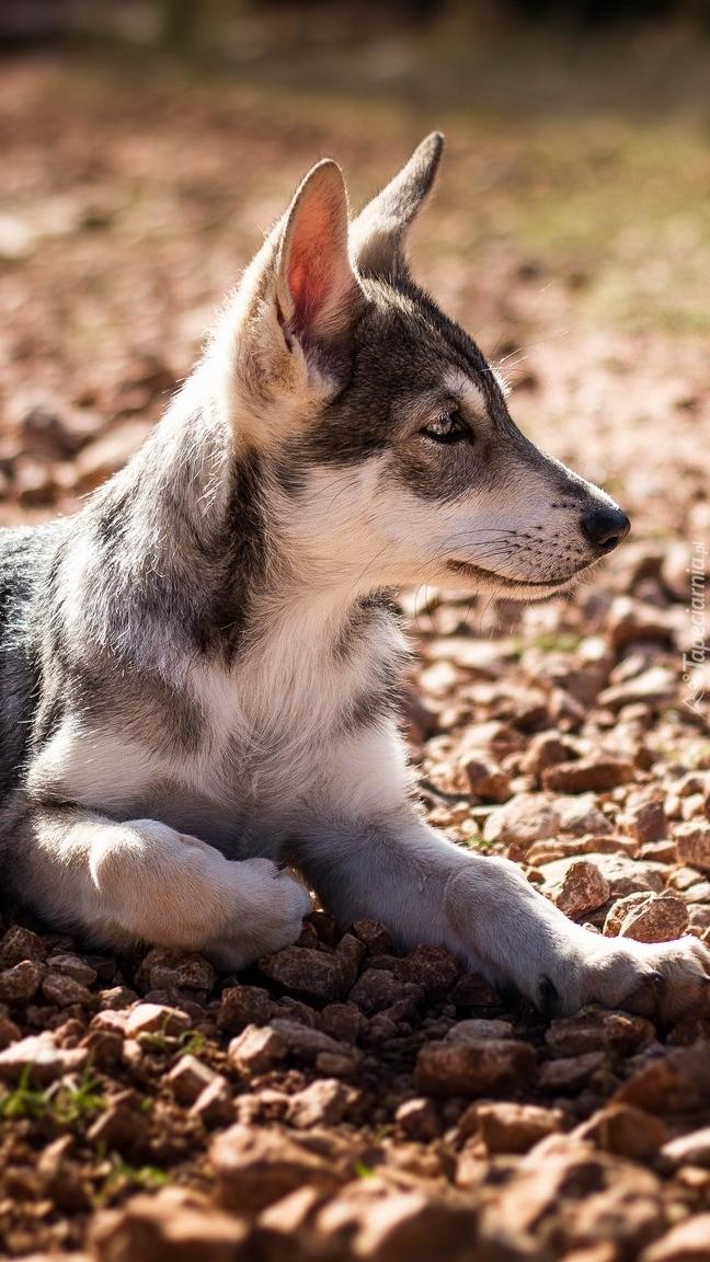 Leżący szczeniak wilczaka czechosłowackiego