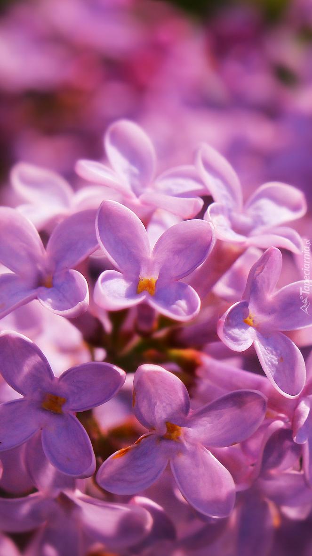 Lilak w zbliżeniu