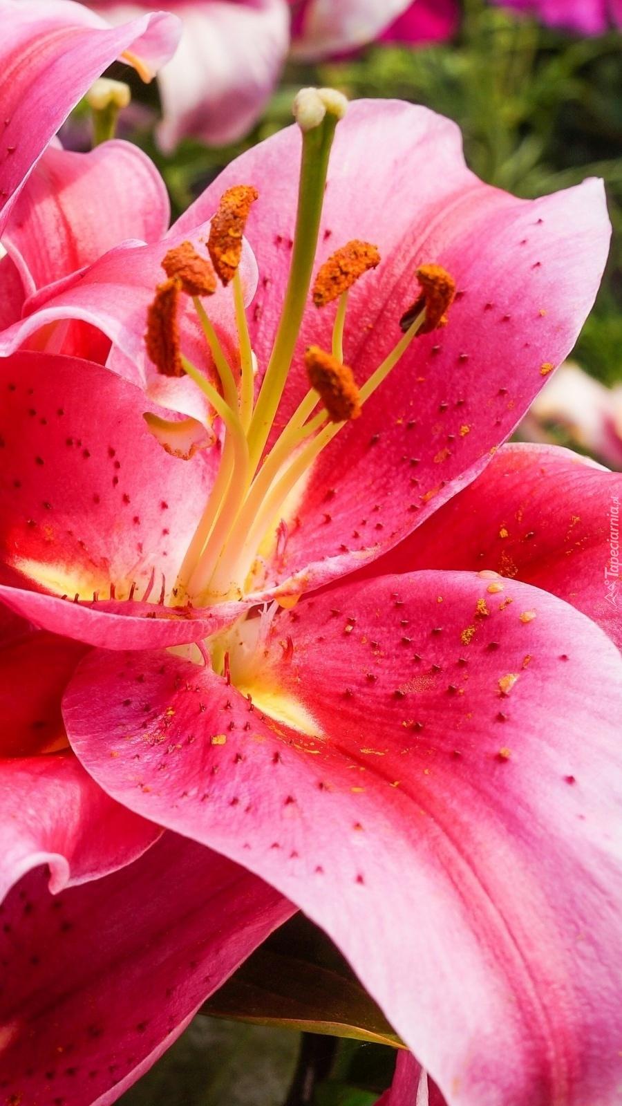 Lilia w kolorze różowym