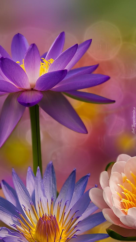 Lilie wodne w grafice