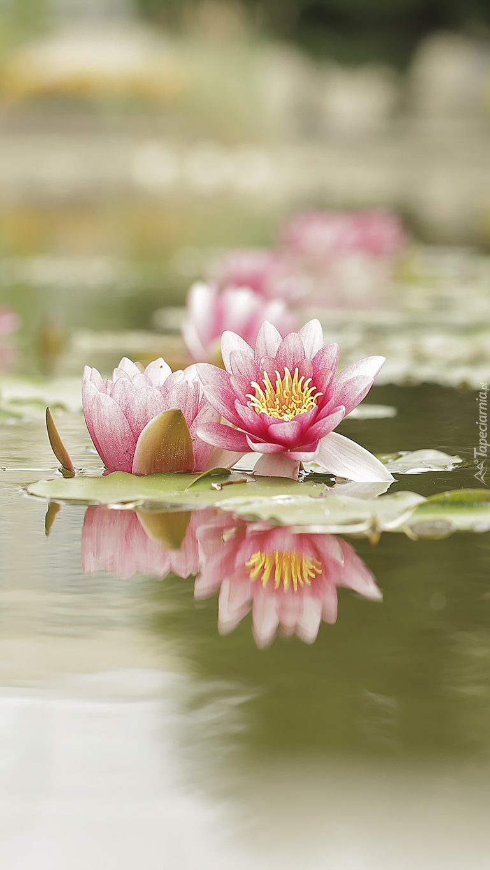 Lilie wodne w stawie