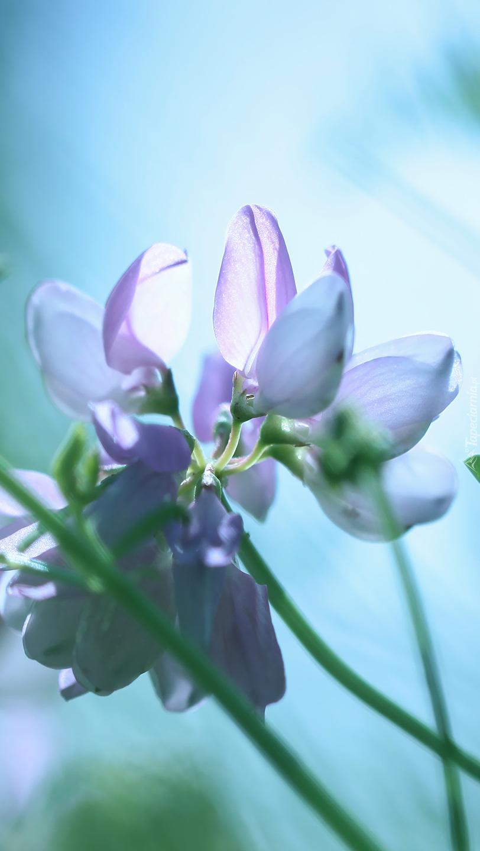 Liliowa cieciorka pstra na łodydze