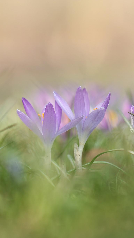 Liliowe krokusy w trawie