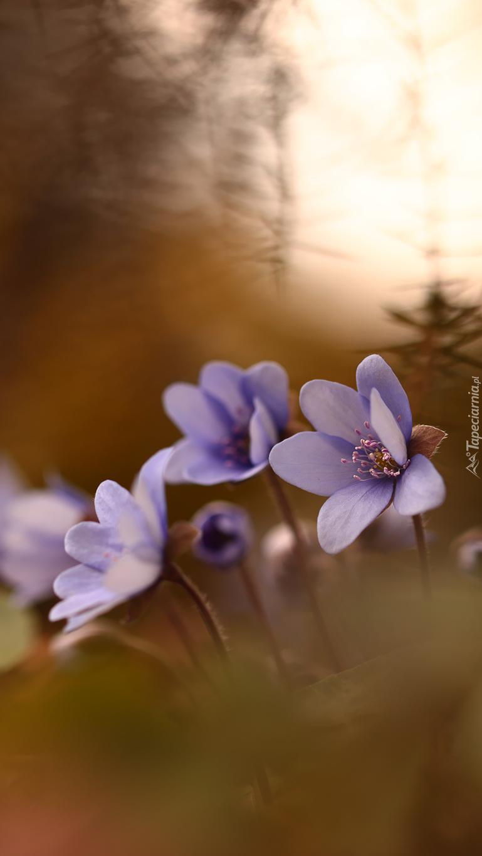 Liliowe przylaszczki