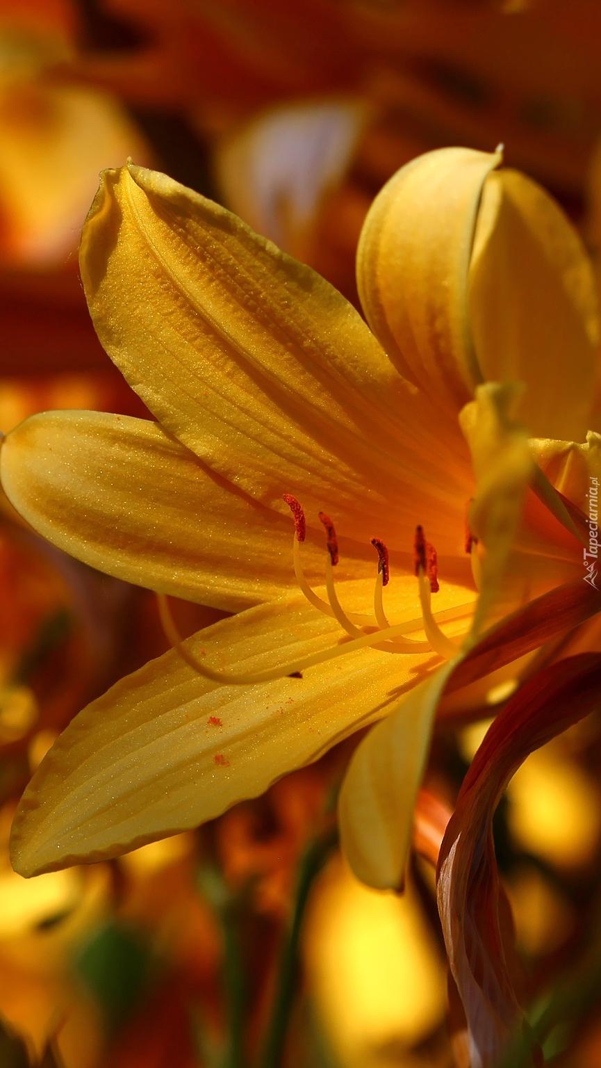 Liliowiec żółty