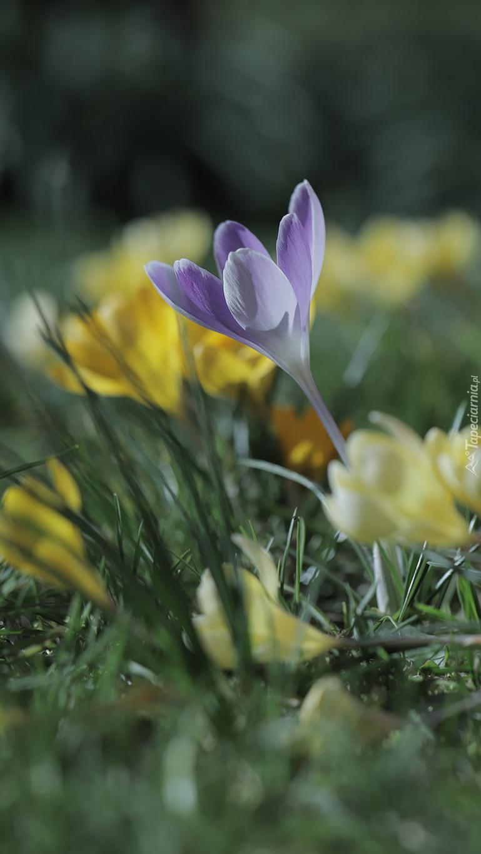 Liliowy krokus pośród żółtych kwiatów