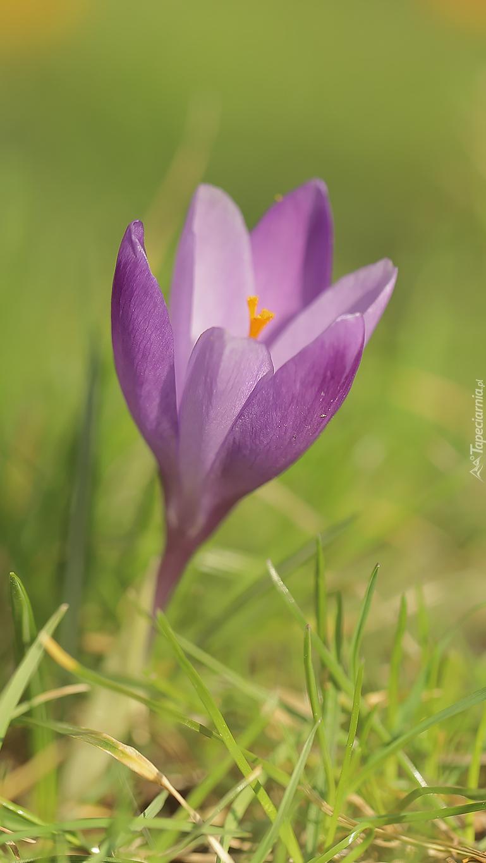 Liliowy krokus w trawie