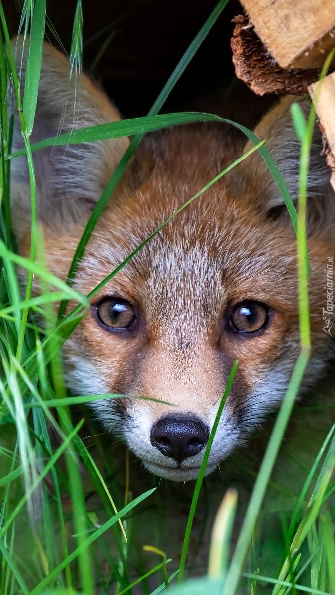 Lis w kryjówce