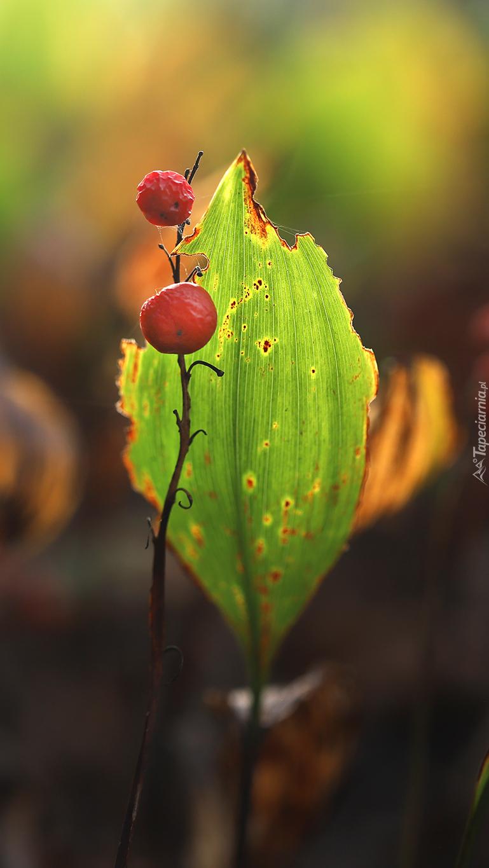 Liść konwalii i czerwone owoce