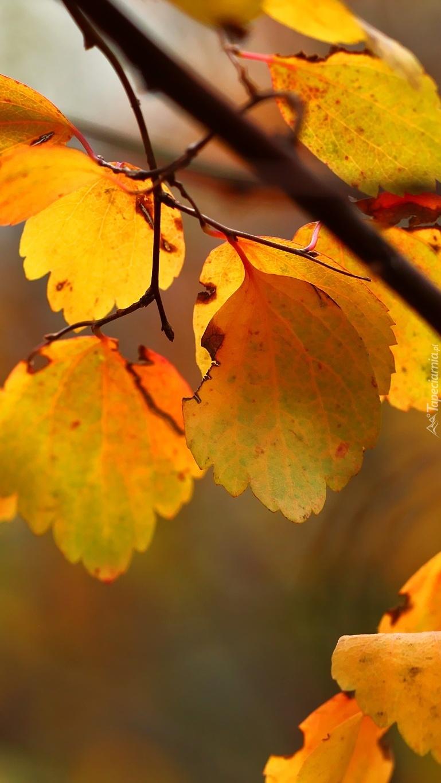 Liście jesienią złocone