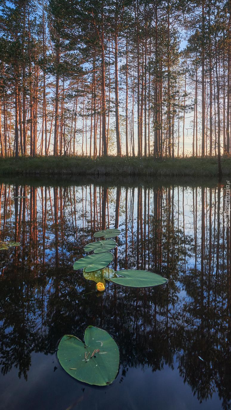 Liście lilii wodnych w leśnym stawie