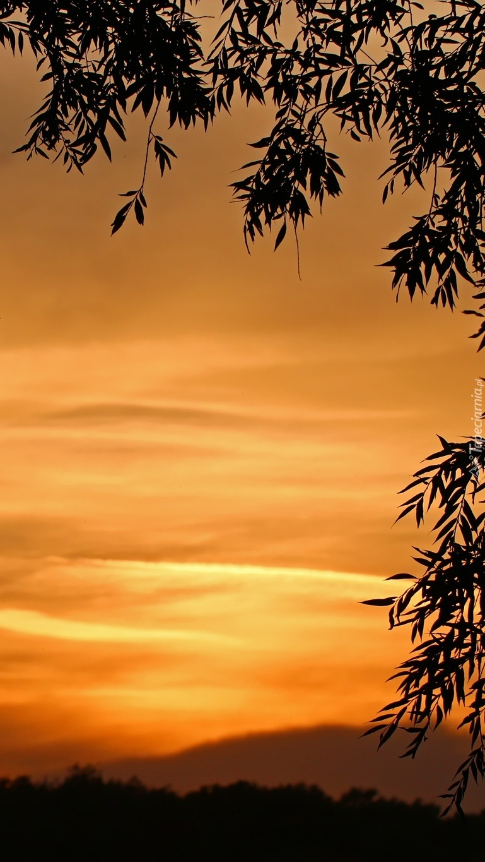 Liście na tle nieba wieczorową porą