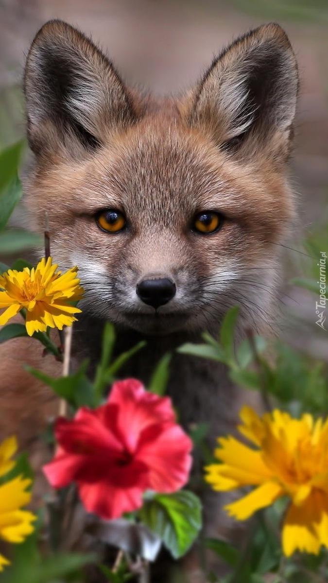 Lisek chytrusek wśród kwiatów