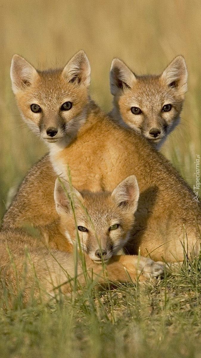 Lisia rodzina w trawie