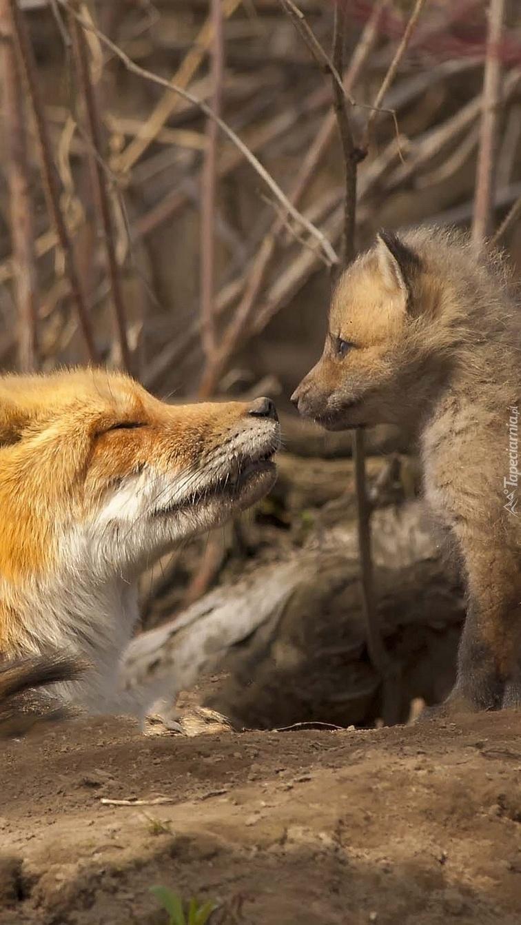 Lisica z młodym