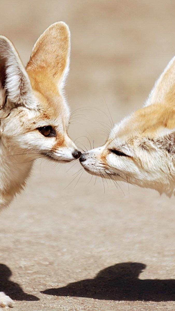 Liski dotykają się nosami