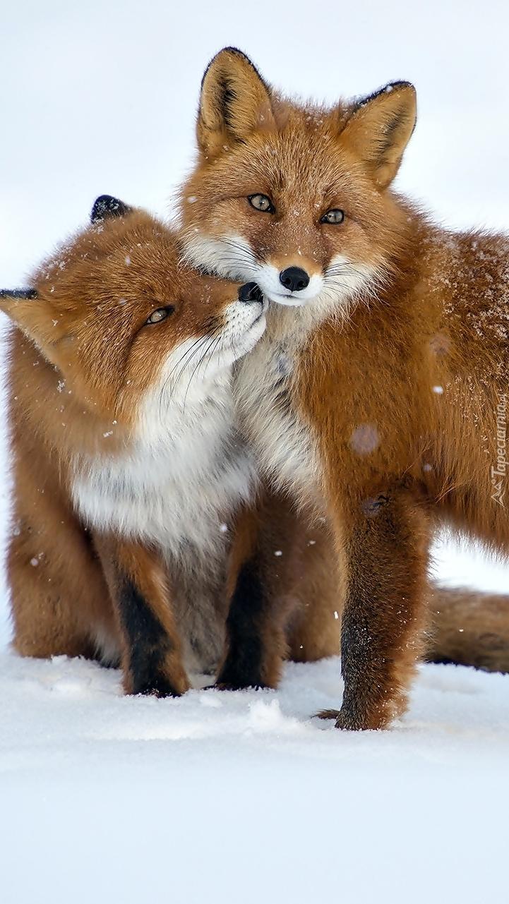 Lisy na śniegu