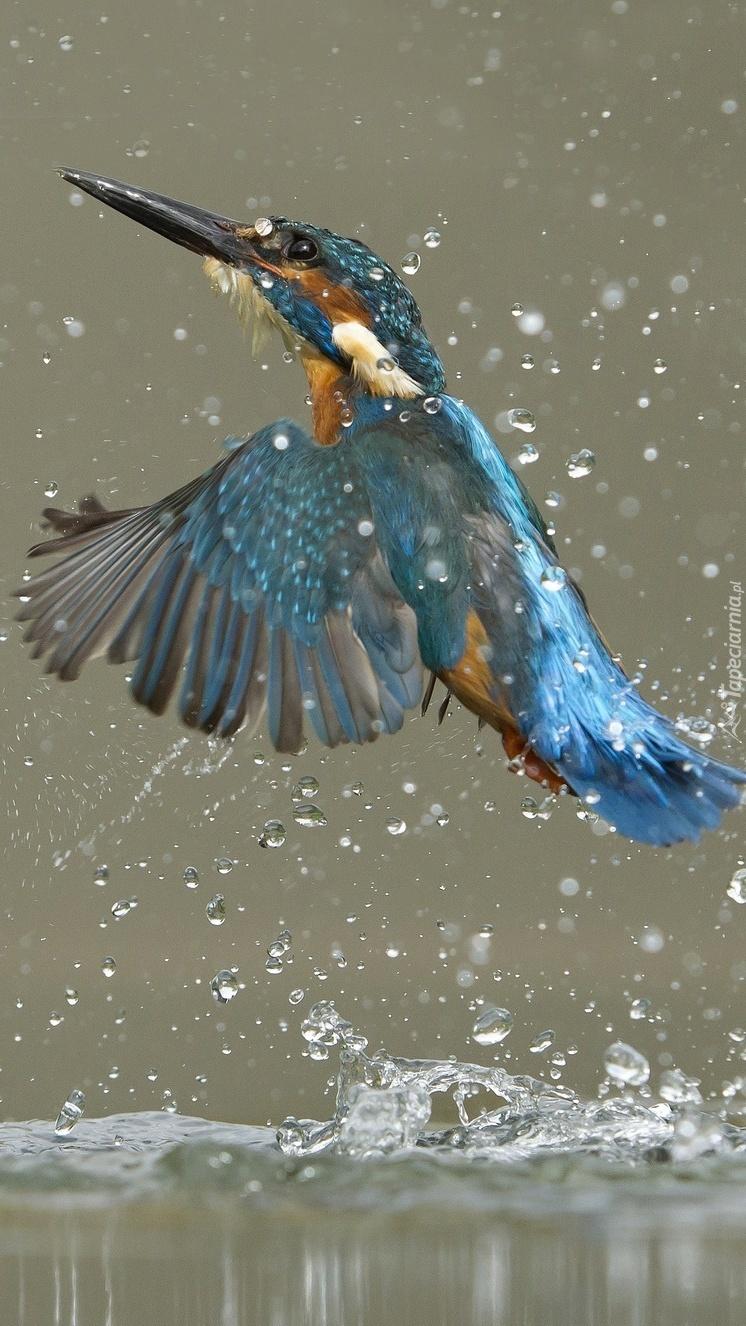 Lot zimorodka w kroplach wody