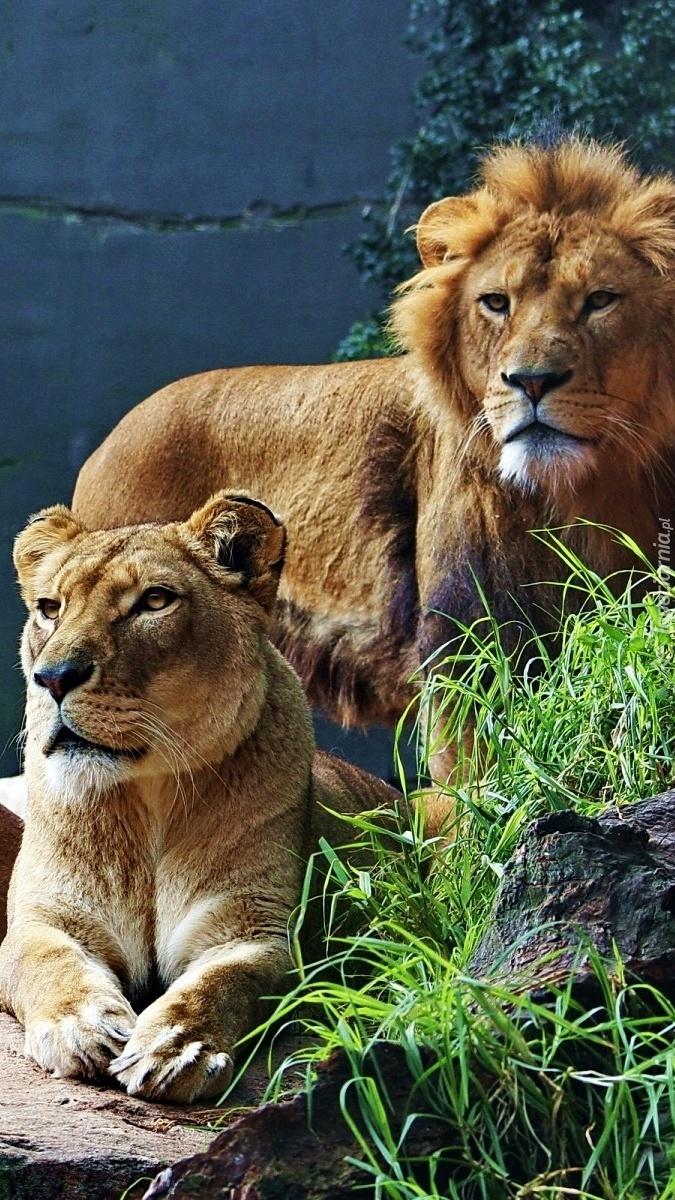 Lwia rodzinka