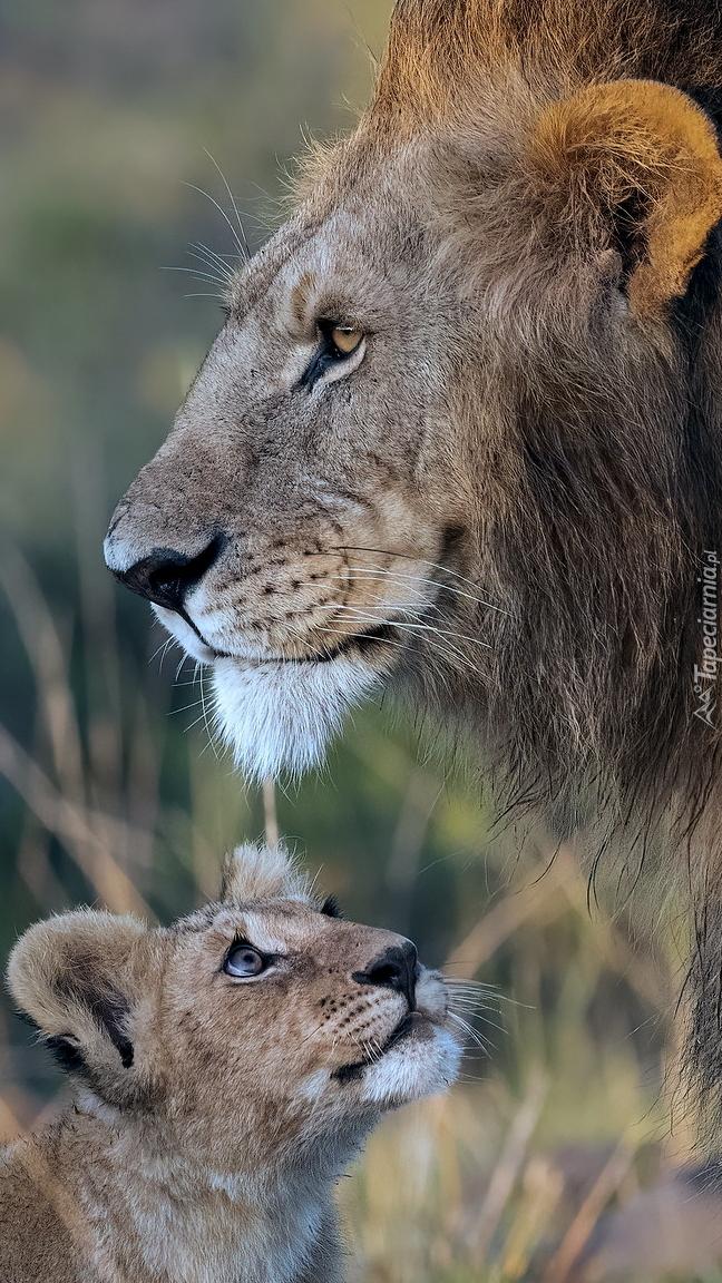 Lwiątko obok lwa