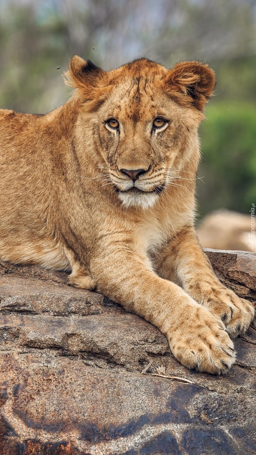 Lwica leżąca na kamieniu