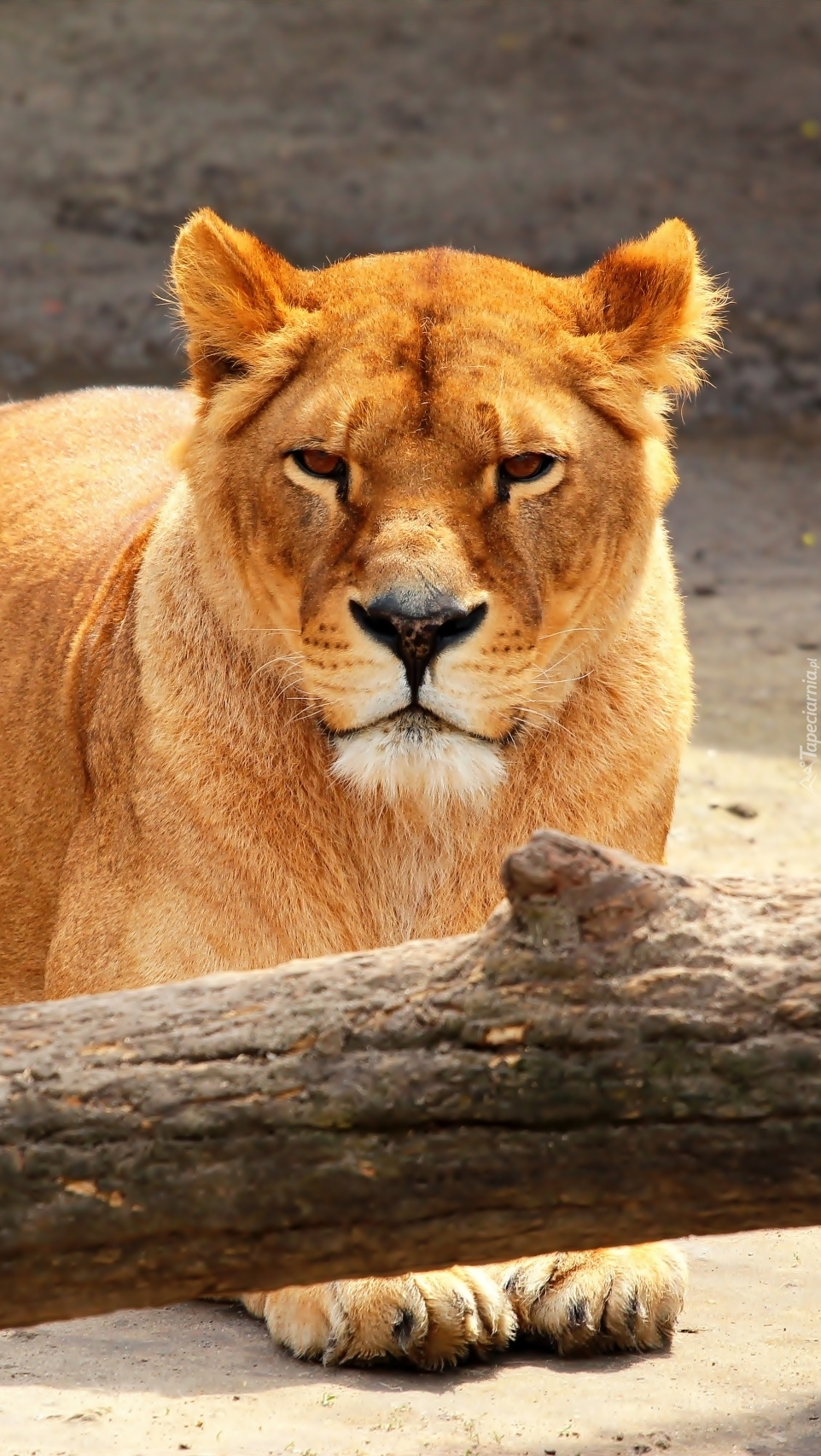 Lwica leży przy konarze