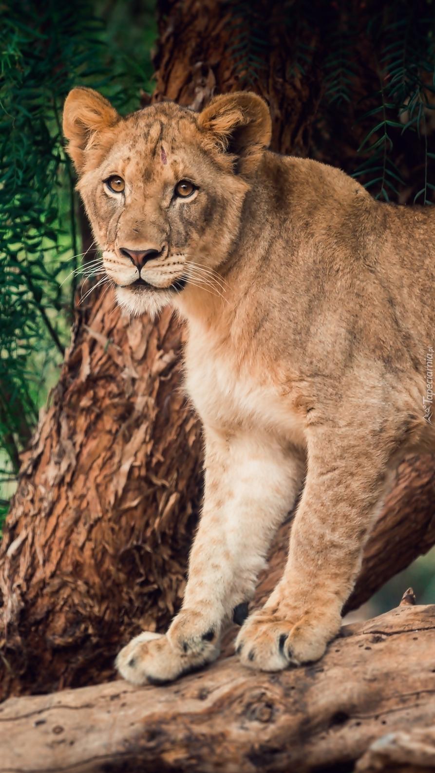 Lwica na drzewie