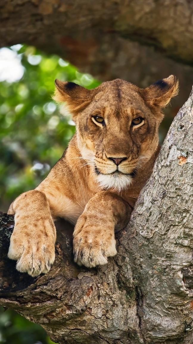 Lwica na konarze drzewa