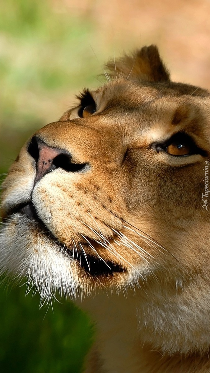 Lwica spogląda w górę