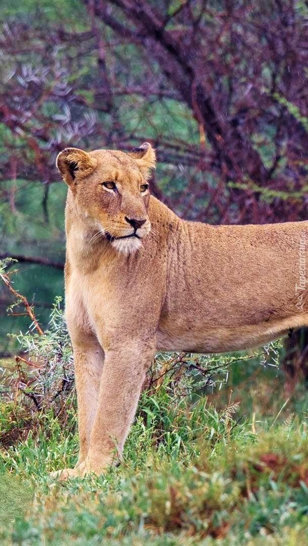 Lwica stoi w trawie