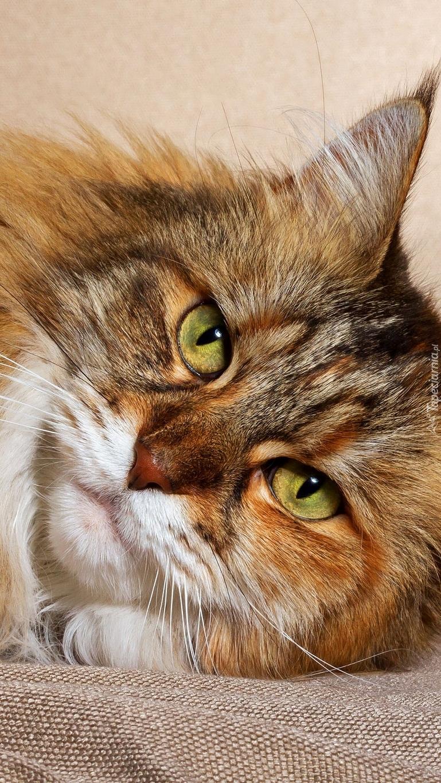 Maine coon o zielonych oczach