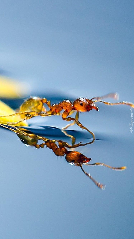 Makro mrówka