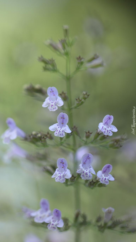 Małe fioletowe kwiatki