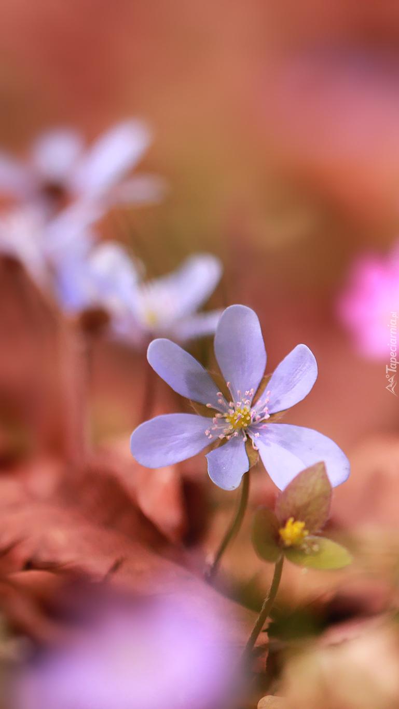 Małe kwiatuszki przylaszczki
