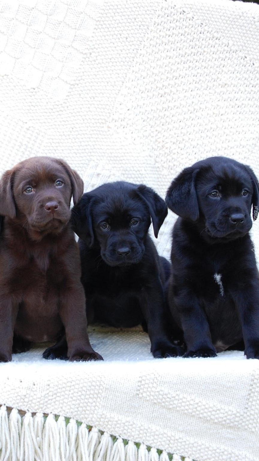 Małe labradory na ławce