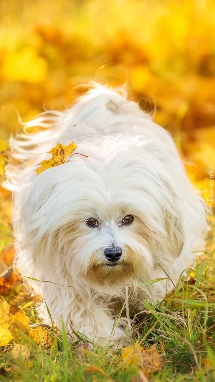 Maltańczyk w jesiennych liściach