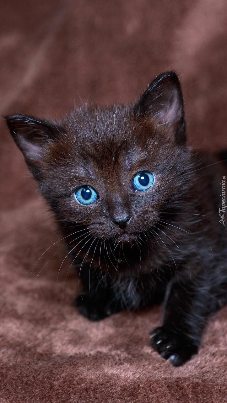Mały czarny kot o niebieskich oczach