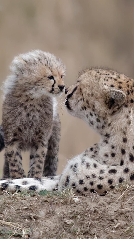 Mały gepard z matką