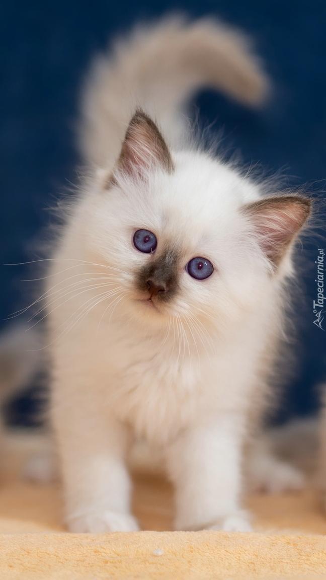 Mały kotek birmański
