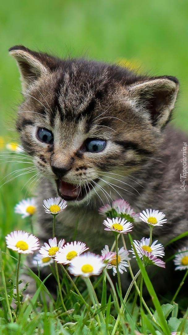 Mały kotek obok stokrotek