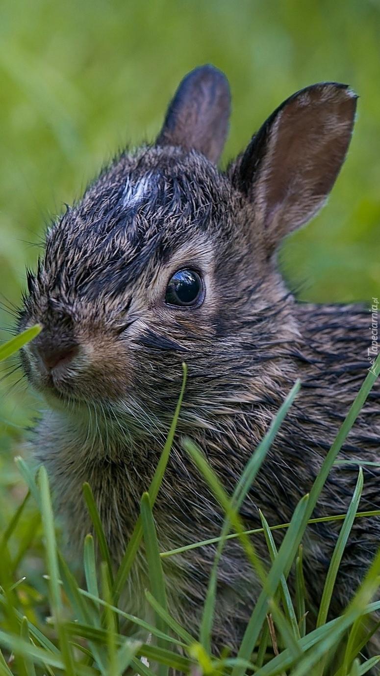 Mały króliczek w trawie