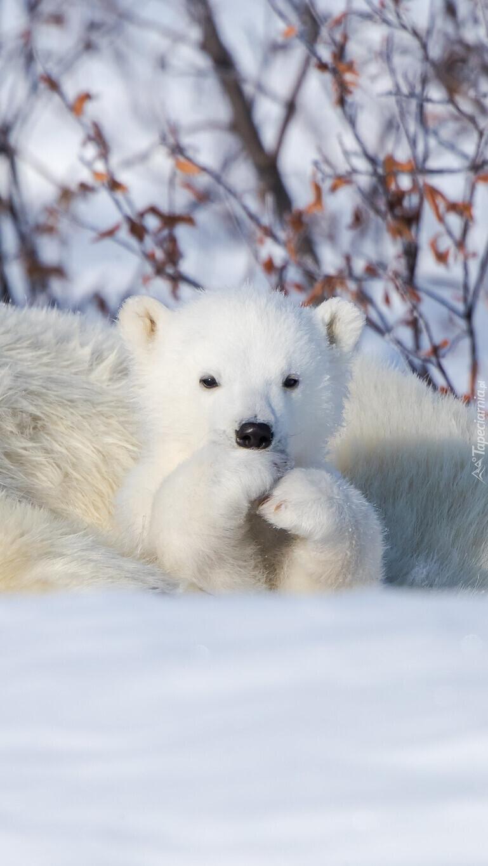 Mały niedźwiadek polarny