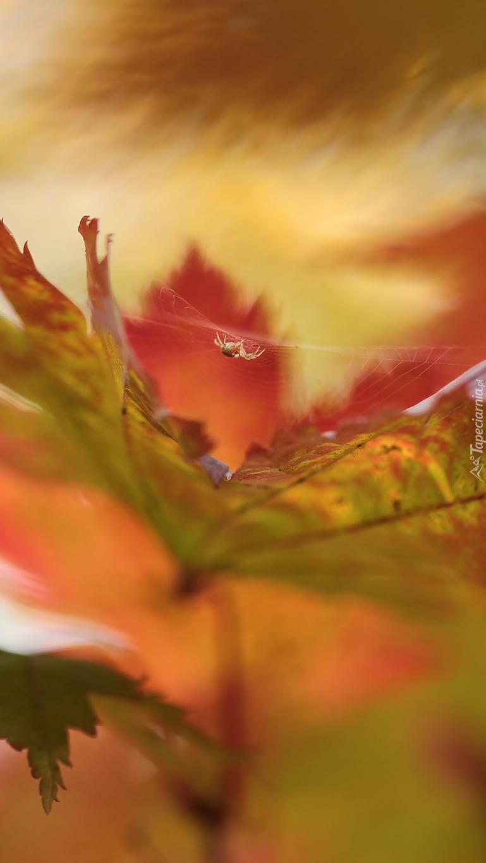Mały pajączek nad liściem
