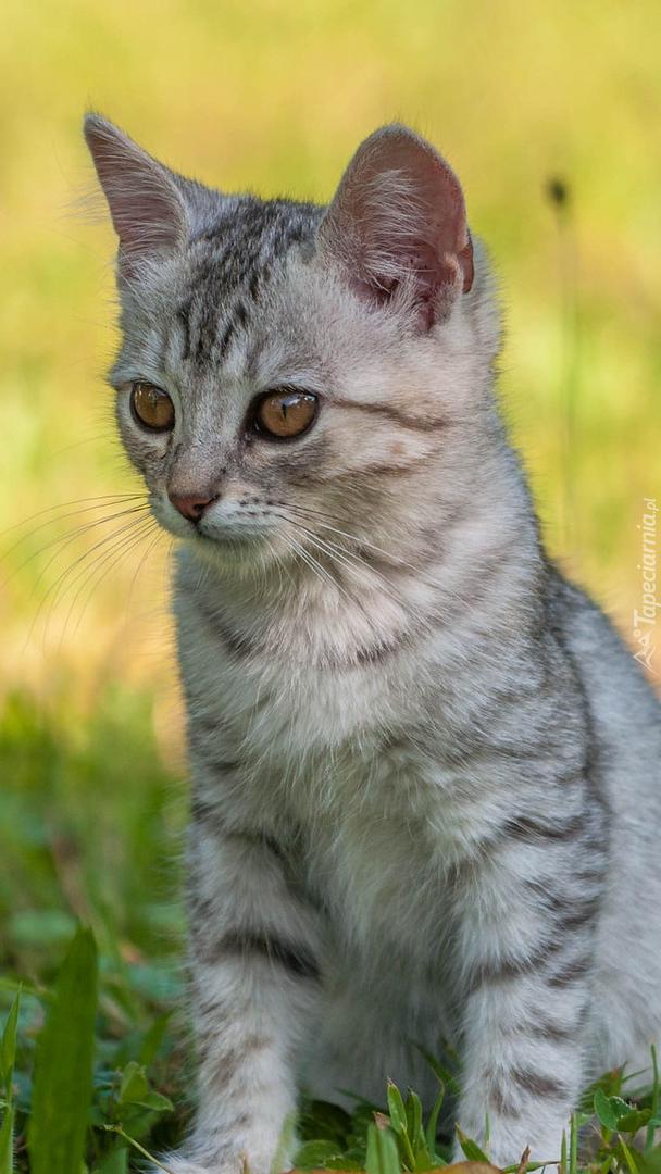 Mały szary kotek