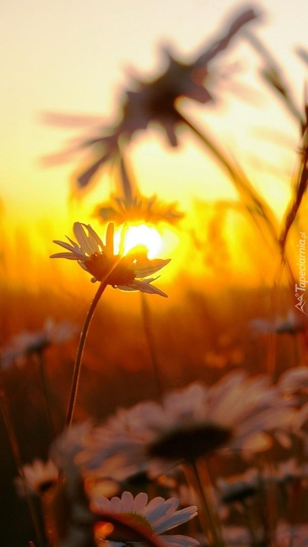 Margerytka w świetle słońca